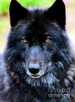 Black-wolf-nick-gustafson